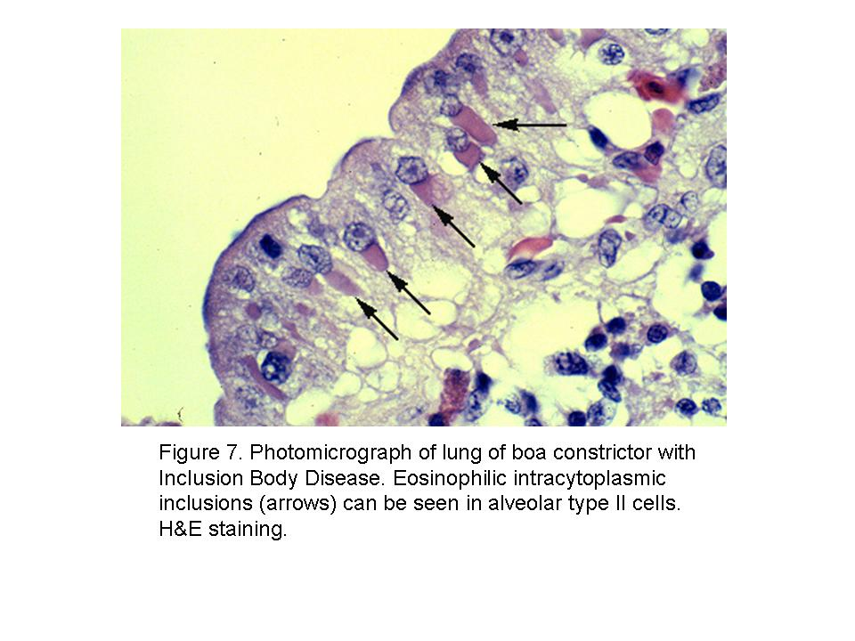 Inclusion Body Disease of Boid Snakes » Diagnostic Laboratories ...